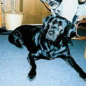 Nitro (Rottweiler/Lab)