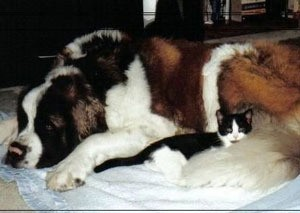 St. Bernard and kitten.