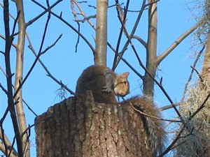 Photo of a squirrel on a tree stump.
