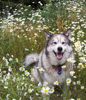 Dog laying a a bed of daisies.