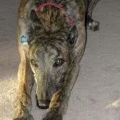 Retired Greyhound racer