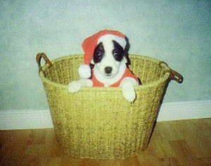 A small black and white dog in a laundry basket.