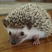 Roxy (African Pygmy Hedgehog)