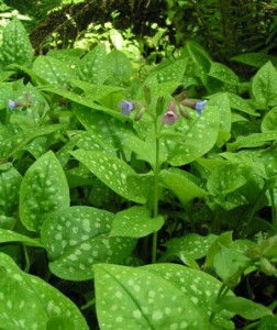 Closeup of the Lungwort plant