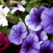 Purple Annuals