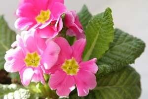 deep pink flowering primrose