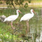 Little Egrets(?) at Key West