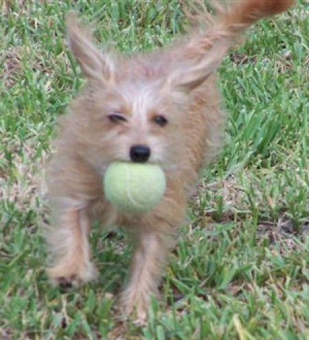 A Maltese/Dachshund mix on grass catching a tennis ball.