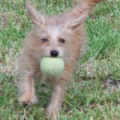 A Maltese/Dachshund mix on grass catching a tennis ball.
