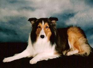 In Memory of Taffy (Sheltie)