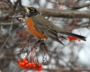 robin in winter scene