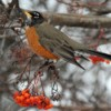robin in winter scene