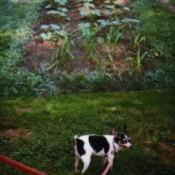 Terrier in garden.