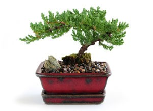 Bonsai Nursery (San Antonio, Seguin, Donna: for sale ...