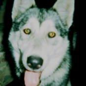 wolf husky face