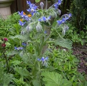 Flowering borage in the garden.