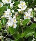 white flowering wax begonias