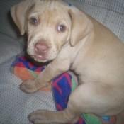Tan puppy.