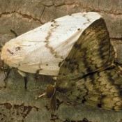Garden Insects: Gypsy Moths