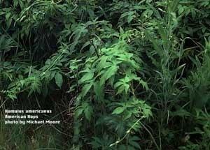 Hops bush