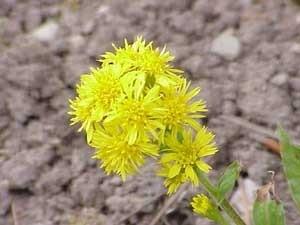 Closeup of Goldenrod flower