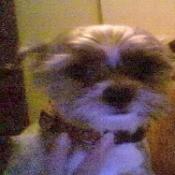 Littles (Chihuahua/Shih Tzu)
