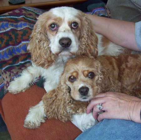 Two Cocker Spaniels.