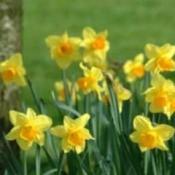 Growing: Daffodil
