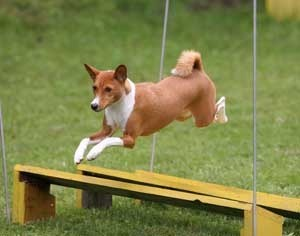 Basenji jumping  over obstacle