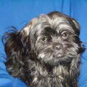 Black and Grey Colored Shih Tzu