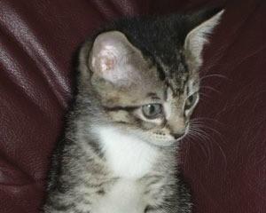 Clover the Tabby Cat