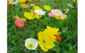 Poppies and various colors.