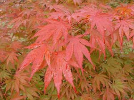 Red leaf Japanese maple