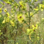 Growing: Verbascum