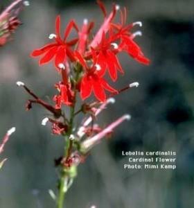 Growing: Lobelia