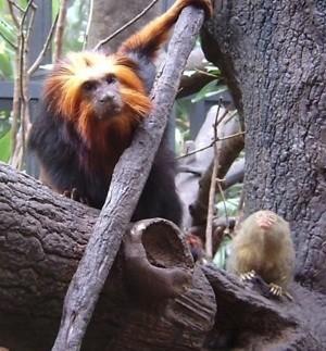 golden headed monkey