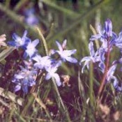 Small blue flowers.