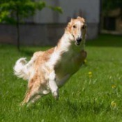 A Russian wolfhound or Borzoi leaping on a grassy yard.