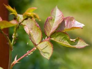 Aphids on rose stem.