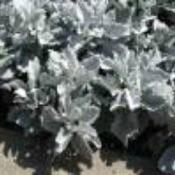 Dusty Miller plants.
