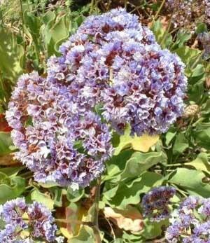 statice flowers