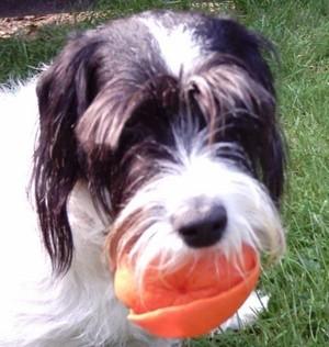 Emma (English Spaniel/Jack Russell Terrier)