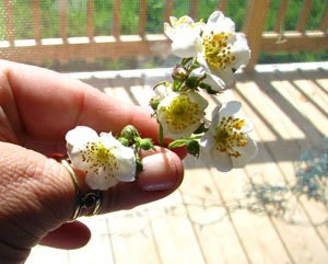 A white flower that grows on a branch.