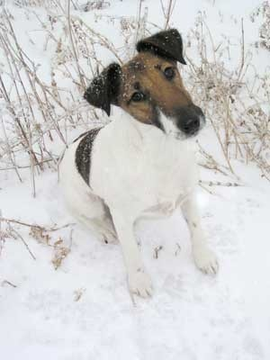 Fox Terrier in the snow.