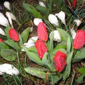 Valentine Collection of Tulips and Crocus