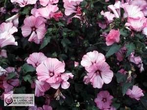 Pink Lavatera flowers