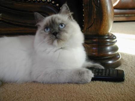 White and gray cat.