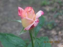Pretty cream and pink rose.