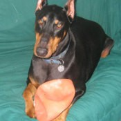 Black and tan Doberman with deflated football.