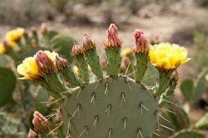 closeup of cactus pad and blooms